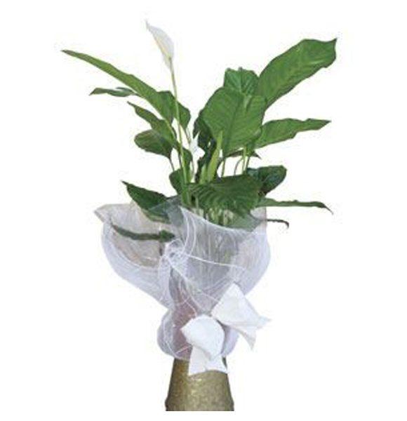 Regala plantas. Envíos a toda España con Mandaflor